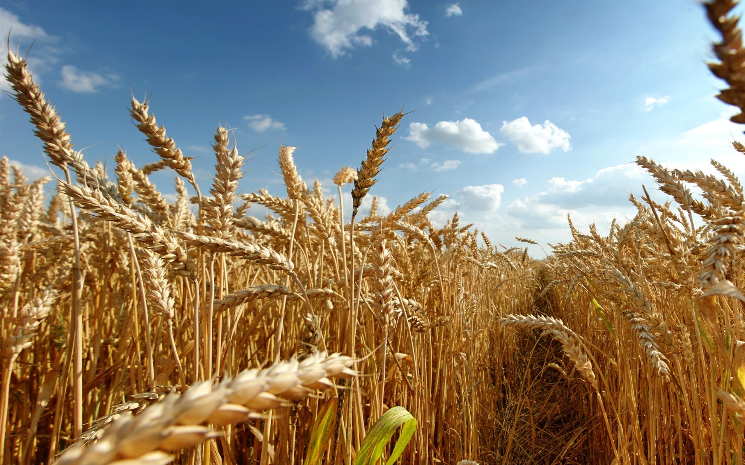 wheat_fields_crops_Wallpaper_2560x1600_www.wallpaperswa.com